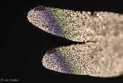 Rainbow wing (Rob Blanken) Tags: wing dragonfly rainbow reflection bokeh
