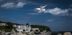 Flying high (Ludo_Jacobs) Tags: seagull bird animal rgen ostsee deutschland germany coast kste sea europe europa nature landscape landschaft