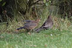 Sometimes you have to grow up :) (Kay Musk) Tags: blackbird turdusmerula bird young wildlife wild nature nikond3200 essex uk