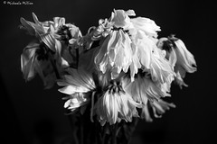 Dead. (MichaelaSMillion) Tags: dead die dying death wilt wilted wilting flower flowers plant plants white black grey contrast contrasted contrasting light blackandwhite beauty beautiful dark