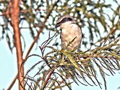 Loggerhead Shrike 20160818 (Kenneth Cole Schneider) Tags: florida miramar westbrowardwca