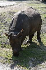 Indische Neushoorn, Planckendael (B) (wimjee) Tags: planckendael zoo dierentuin animal belgi mechelen indische neushoorn indischeneushoorn