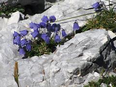 Planinsko cvetje / Mountain flowers (Damijan P.) Tags: gore hribi julijci julijskealpe alpe monutains hiking julianalps alps slovenija slovenia špičje zadnjica prehodavci triglavskajezera trenta prosenak triglavlakes