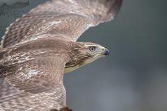 Harvey 9_18 2 (krisinct- Thanks for 12 Million views!) Tags: nikon d500 500 f4 vrg red tail hawk