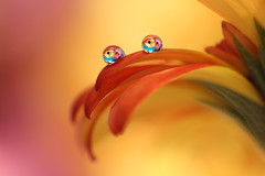 Small tears (Marilena Fattore) Tags: macro artistic canon tamron colors water drops nature closeup focus petals reflection bokeh orange red purple yellow flower floralart 90mm italy