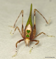 Pycnopalpa bicordata (Ecuador Megadiverso) Tags: book camouflage deadleafkatydid flickr grasshopper katydid mimicry orthoptera phaneropterinae pycnopalpabicordata tettigoniidae unpocodelchoco andreaskay ecuador