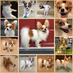 the first two years (mimbrava) Tags: molly papillon dog arr allrightsreserved mimeisenberg mimbrava mimbravastudio