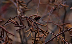 Allong (vbd) Tags: pentax k3 vbd smcpentaxda55300mmf458ed ct connecticut cone newengland seeds 2016 winter2016 brown rust trumbull branch handheld manualfocus