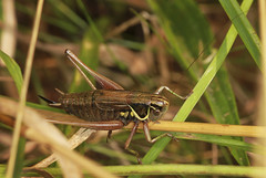 Roesel's Bush Cricket (Prank F) Tags: cambourne wildlifetrust cambsuk wildlife nature insect macro closeup roesels bush cricket