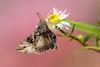 Silver Y Moth (ABPhotosUK) Tags: animals autographagamma canon dartmoor devon ef14xextenderiii ef100400mmisii eos7dmarkii garden invertebrates macro moths nocrop noctuidae plusiinae silvery teleconverter wildlife