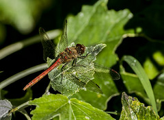 Common Red Darter (Mal.Durbin Photography) Tags: commonreddarter maldurbin dragonfly insects wildlife newportwetlands southwalesuk