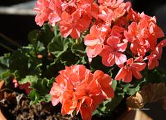 17-IMG_4646 (hemingwayfoto) Tags: august balkon blhen blte geranie geranium