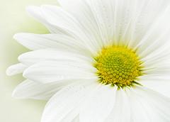 White Mum (Sandyp.com) Tags: mum whitemum sonyalpha sonya7rii macro flower topazsoftware chrysanthemum