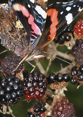 Blackberry Feast (Prank F) Tags: glapthorncowpastures wildlifetrust northantsuk wildlife nature insect macro closeup butterfly red admiral bramble blackberry