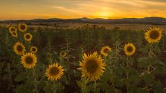 Campos que rozan el alma (Giacomo della Sera) Tags: landscape paisaje espaa spain summer verano girasoles mountain montaa amarillo yellow cielo sky nubes clouds