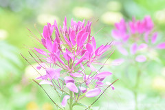 Spider Flower (littlekiss☆) Tags: cleome spiderflower flower pink vandusenbotanicalgarden vancouver littlekissphotography