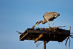 Great Blue Heron on Osprey Nest 8 (LongInt57) Tags: great blue heron bird wading nest aerie branches sky white black grey gray brown nature wildlife kelowna bc canada okanagan platform