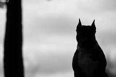 There's only one Batman (AstridSofi) Tags: bw dog black silhouette forest canon dark spring estonia ears perro terrier hund batman tamron koer sobaka