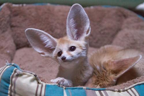 Baby Fennec Fox - a photo on Flickriver Fennec Fox Newborn