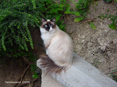 Chat Siamois sur un muret (Ile de France - France) 2009 (Yannewvision) Tags: france cute cat french frankreich chat pretty siamese neko  bushes  mignon kawai siamois  gebsch buissons kawa   yannewvision