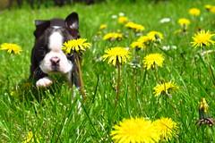 Nigel + dandelions (jezash) Tags: dog boston garden puppy terrier dandelions
