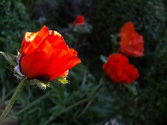 Purpurne Mohnblumen (Rainer ) Tags: red rot nature estate sommer natur poppy summertime t x10 mohnblume unsergarten hermannlns rainer