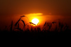 A True Kansas Sunset (matthileo) Tags: light sunset sky sun night clouds dark dusk farm wheat farmland crop kansas sek parsonskansas southeastkansas easternkansas denniskansas