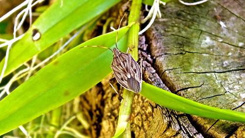 Zebra Gum Tree Shield Bug