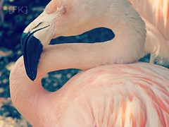 Shut. (FadedKate) Tags: pink white eye florida native flamingo fl fk wetland shut fadedkate