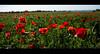 papa veri (miglio) Tags: canon puppies tuscany 7d fiori toscana papaveri canoneos7d