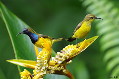 (Explored) Not on good terms? (kengoh8888) Tags: wild cute green bird yellow pose background clean perch stick sunbird smallbird 2birds thegalaxy
