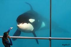 Freya (Nut'ella) Tags: 2 france water canon kim killer works whale orca valentin antibes marineland freya willy orcas keiko killerwhales moana baleines orque mlf 600d orques inouk wikie sauvezwilly marinelandantibes canoneos600d wikieorca valentinorca mlffrance baleinestueuses freyaorca inoukorca moanaorca babymoana bbmoana bborque kim2orca