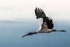 Wood Stork (Mycteria americana) Costa Rica Tarcoles River (mikebaird) Tags: river costarica crocodile getty gettyimages tarcoles mikebaird tårcoles 05may2012