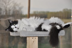 Smokey chillin' (Cats 99) Tags: cat soft relaxing may fluffy pole alberta smokey fairview 2012