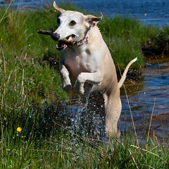 The Monster of the Loch (Marc de Ridder) Tags: fun scotland funtime lola whippet loch sighthound tighnabruaich millhouse cowal lochascog scottishloch whippetaction auchoirk highauchoirk sighthoundaction