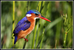 Malachite Kingfisher (nel.michele) Tags: bird beak kingfisher malachite alcedocristata intaka freedomtosoarlevel1birdphotosonly freedomtosoarlevel2birdphotosonly freedomtosoarlevel3birdphotosonly freedomtosoarlevel4birdphotosonly freedomtosoarlevel5birdphotosonly freedomtosoarlevel5birdsonly freedomtosoarlevel4birdsonly