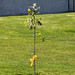 Arlington Oak sapling - official replacement tree - Arlington National Cemetery - 2012-05-19