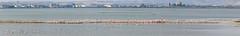 Panoramic: Cagliari - Pink Flamingos Colony (Rob McFrey) Tags: sardegna italy parco bird nature animal fauna nikon italia sardinia flamingo panoramic rob panoramica colonia photomerge roberto nikkor 70300mm saline birdwatching animali cagliari vr afs avifauna 70300 sarda molentargius stagno d90 phoenicopterus roseus fenicottero f4556 nikkor70300mmf4556gedvr mcfrey defraia