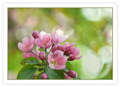 (melolou) Tags: pink flowers spring bokeh pastel blossoms mygearandme mygearandmepremium