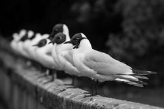 On a Row (Tore Thiis Fjeld) Tags: bw nature norway nikon blackheadedgull hettemke chroicocephalusridibundus blackwhited800