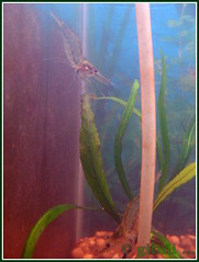 1. IN-MH-MUM-LYN - Amazon Glass Shrimp (1) (Kquester) Tags: aquarium shrimp prawn glassshrimp redclawmacro