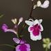 Orchis graminifolia - Merle Robboy
