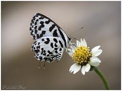 Butterfly.. (Common pierrot) (Prasanna BA) Tags: india canon karnataka digitalphotography udupi prasanna postprocessing bhats phography adobecameraraw photoshopworks rebelxti canoneos400d photoshopcs6 ditigitalimaging prasannabhatdigitalimaging