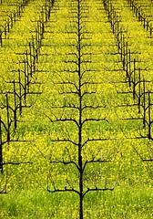JKN©-BW-0784 (John Nakata) Tags: awb bw9 flower mustard napavalley spring wildflower wine winecountry yellow