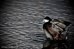 Ruddy Duck (sandyolson) Tags: coyote blackandwhite canada macro bird history nature beautiful birds silhouette children photography wolf eagle wildlife insects moose canadian frog wilderness baroque johnlennon mammals chiaroscuro renaissance awardwinning irlambriggs