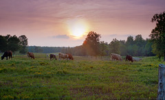 Cow Pasture at Sunset (Chris Lafort) Tags: sunset field cattle cows northcarolina pasture dairycows guilfordcounty nikond700