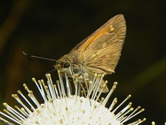 Broad-Winged Skipper/Buttonbush (rstickney37) Tags: skipper hesperiidae buttonbush poanes broadwingedskipper poanesviator