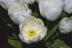 White Tulips Today (Annette LeDuff) Tags: white flower flora tulip favorited darkbackground worldofflowers flowerbudsandblossoms abundantflowers elaromadelasflores addictedtoflower floraaroundtheworld photoannetteleduff annetteleduff ourwonderfulandfragileworld 05182012