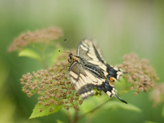 Old World Swallowtail (Polotaro) Tags: nature pen butterfly bug insect olympus  zuiko ep1       gzuiko50mmf14