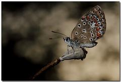Licenide (Sergio Battaglia) Tags: sergio u battaglia macrofotografia farfalle greatphotographers macrolife thesecretlifeoftrees